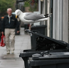 What's for lunch ??? (BOB008) Tags: scotland fife dundee seagull bin wheelie abigfave