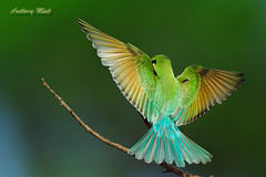 Blue-tailed Bee-eater (AnthonyMak) Tags: green bird wing avian beeeater bluetailedbeeeater specanimal dapagroup dapagroupmeritaward excapture thebestofday gnneniyisi dapagroupmeritaward1 alemdagqualityonlyclub damniwishidtakenthat alemdaggoldenaward animalpicturesaf vosplusbellesphotos slbflying justhitmewithyourbestshot5thplacedecember2008photocontest