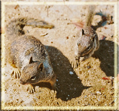 MOMMY AND BABY SQUIRRELS (fantartsy JJ *2013 year of LOVE!*) Tags: ocean california park flowers sea vacation cute beach home nature beauty birds sand squirrels waiting babies sweet gulls cottage wallart oceanside urbannature dreams hopes southerncalifornia inspire naturesfinest placesilove supershot flickrgold worldbest platinumphoto impressedbeauty goldenphotographer diamondclassphotographer flickrdiamond lmaoanimalphotoaward adorablecritters theperfectphotographer goldstaraward ~envyofflickr life~asiseeit magicdonkeysbest worldsmoststunning lahabreheights