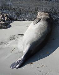 Elephant Seal (kckellner) Tags: elephant san juan seal