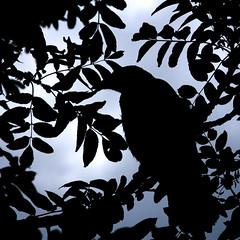 The Crow (Stavelin) Tags: black bird silouette crow stavelin canoneos30d the99 bildekritikk roarstavelin canonefs24105mmf4lisusm