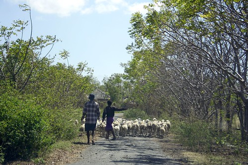 Kaliantan sheep