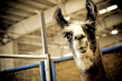 Oh... Hello There - a llama at the Oregon State Fair in Salem Oregon