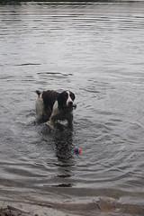 reggie! (su.ki) Tags: dog nature water puppy newengland bostonma wetdog englishspringerspaniel houghtonspond brownandwhitedog fall2008 browneyespicketfencesplashfetchplay