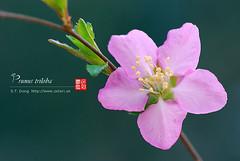 2008_03310012 (chinaphila) Tags: flower flora prunus cerasus rosaceae