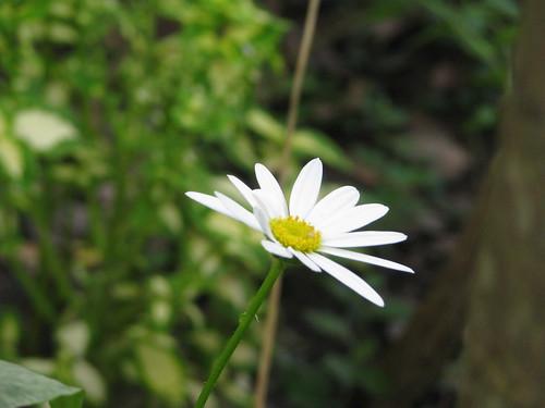 Last Shasta Daisy