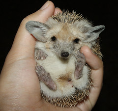 Hedgehog at Night - Chapter One: Caught in the act (BlueLunarRose) Tags: baby cute nature animal night hedge hedgehog cuteanimal
