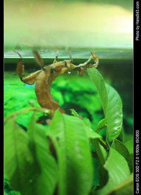 棘冠幽靈竹節蟲_Australian Giant Prickly