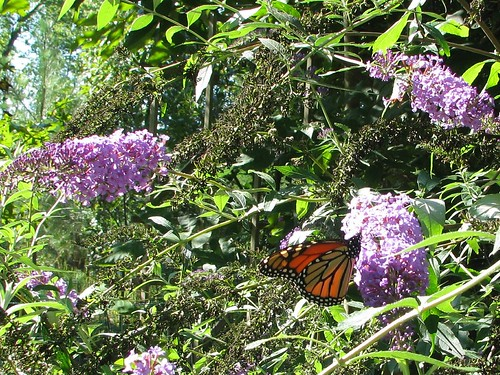 Monarch in Buddleia