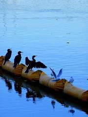 Birds&Water Serie n3 (bruno-c) Tags: bird water river eau riviere oiseau blueribbonwinner bej mywinners flickrdiamond theunforgettablepictures theperfectphotographer goldstaraward
