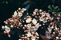 1972-06 Mtn Laurel, Blue Ridge Parkway, VA (bsnenninger) Tags: flowers va 1972 mountainlaurel blueridgeparkway natlparksmonumentsmemorialsandhistoricsites