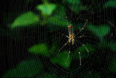 The Giant Wood Spider (Aditi Patnaik) Tags: india bug insect spider web wayanad kerela giantwoodspider