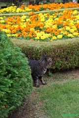 tabby cat & marigold (azucargeminis (catching up slowly...)) Tags: orange black green yellow japan cat garden grey tokyo nikon shrub marigold flowergarden tabbycat d60 nishigahara kyufurukawateien