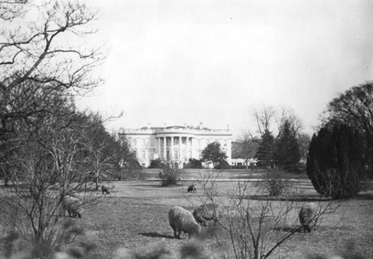 Sheep grazing on the White House lawn, 1918