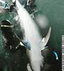 delfin japonés 2006 Atávico - tiene 4 patas