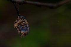 A19526 (davidnaylor83) Tags: plant tree fruit sweden plum 11 fungi uppsala frukt mold svamp trd plumtree rsta mgel prunusdomestica plommon plommontrd betgatan