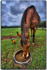 My HDR / DRI Tutorial. (Ryan Eng) Tags: horse food chicken photoshop hawaii cs2 oahu farm northshore rooster feed hdr farmanimals horsebackriding pupukea photomatix sigma1020 hdrtutorial nikond90 ryaneng ryausting hdrhalofix