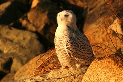 Snowy Owl - West Dennis Beach, Cape Cod (petertrull) Tags: