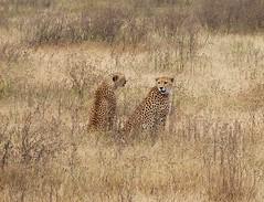 - The fast and beautiful (spartan_puma) Tags: aa ngorongoro crater tanzania africa safari cheetah acinonyx jubatus bestshotoftheday