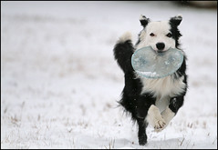 Snow Run (Anda74) Tags: november snow run frisbee bordercollie ouzo canonef70200mmf4lusm