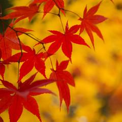 IMGP8184 (Tim Wilko) Tags: autumn red colour leaves japan kyoto momiji arashiyama