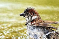 April showers (Kim Taylor Hull) Tags: bird birds pond nikon sparrow finiky d3