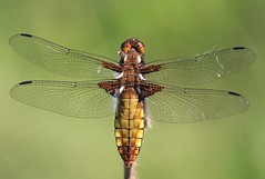 Broad Bodied Chaser (Libellula depressa) Female (Rezamink) Tags: uk dragonflies odonata broadbodiedchaser libelluladepressa