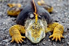 Sleeping Iguana, crop 1