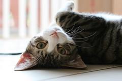 idaho5 (timington) Tags: cats cute feline chat kittens gato kitties