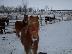 Pony, Mother, and Cows (Roofer 1) Tags: horse cows pony soe corral fineartsphotos blueribbonwinner mywinners impressedbeauty superbmasterpiece diamondclassphotographer flickrdiamond theperfectphotographer rrfarm