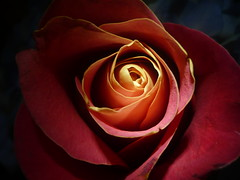 Rose (highofframen) Tags: light shadow red orange beautiful rose petals spring day first blooming creased creases