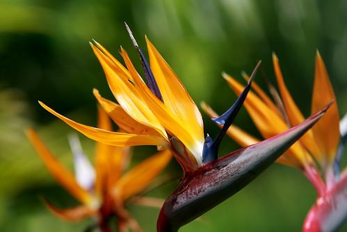 Rajski Ptak (Strelitzia reginae)