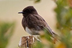 My phoebe friend (Hockey.Lover) Tags: birds nocrop blackphoebe arastraderopreserve anawesomeshot avianexcellence