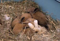 Bunny paws (Sjaek) Tags: baby cute rabbit bunny bunnies babies nest sweet adorable fluffy pip rabbits flurry guus
