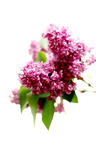 mmm, lilacs