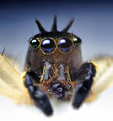 Male Maevia inclemens Jumping Spider Eating a Springtail (Thomas Shahan) Tags: macro k vintage hair prime spider spring jumping eyes close asahi pentax takumar zoom arachnid tail flash small 28mm science jaws reversed fangs dslr ist smc vivitar dl diffuser teleconverter springtail opo arthropod macrophotography bayonet 2x chelicerae thyristor terser macrolife justpentax opoterser