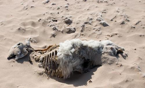 Dead sheep