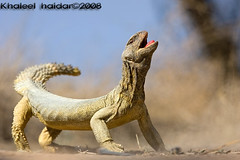 Big Lizard (khaleel haidar) Tags: sports canon big expo lizard kuwait  6th q8          sobah khaleel   9ora  canonef400mmf28lisusm  ef400        alshikh qemdfinchfavforjune2008 m7mia khaleelphtocom