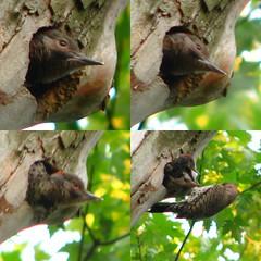 flicker feeding fledglings