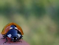 on my finger (karin_b1966) Tags: macro bug insect natur beetle ladybug insekt garten kfer marienkfer naturephotography beautifulearth macrophotos greatshots beautifullife closerandclosermacrophotography macrobugs theworldthroughmyeyes thebeautyinlife a1f1 insectmacrophotography bugsandspiders viewonblack photofans onegoodphoto beautyofthenatureworld flickrenvy flickrfotografendeutschland anythingdigital photonow insectsarebeautiful allthingsmacro gardenmakro