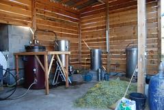 Helichrysum Distillation in Corsica