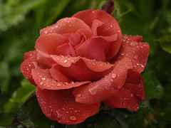 Julie Y (Britta's photo world) Tags: orange plant flower rain rose drops britta soe harkness hybridtea 60mmf28dmicro niermeyer mywinners diamondclassphotographer flickrdiamond juliey tbfsredflowercontestaug08