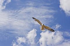 Juan Salvador Gaviota (Albert GM) Tags: sky naturaleza bird animal juan natura cielo nubes salvador pajaro formentera gaviota