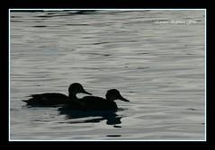 Patos, en buena compania por la vida (ZOOMINFINITO) Tags: en blanco la y negro wb vida enrique por hermosos patos buena grises espinoza compania gruss