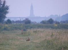 Hare in the Blauwe Kamer 2 (sjoerdphoto) Tags: hare rhenen cunera