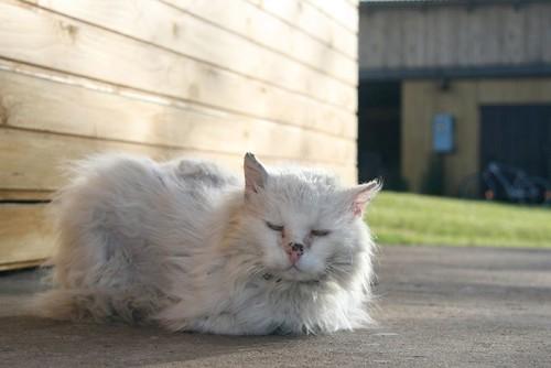 Alte weiße Katze mit zerzaustem Fell