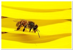 Bee's World (Diogo Gasparetto) Tags: flower yellow insect bee abelha amarelo sunflowers sunflower polen abelhas girassol naturesfinest aplusphoto theunforgettablepictures excapturemacro diogogasparetto beautifulmonsters