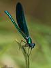 Calopteryx sp. (Jbenayas) Tags: españa fauna olympus portfolio 70300mm 510 gredos avila zd arenasdesanpedro ftna jbenayas jorgebenayas
