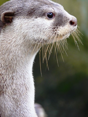 closeup profile of pale-furred river otter. Some water droplets are shining on its whiskers.