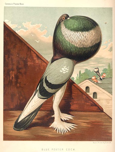 01a-Blue pouter cock